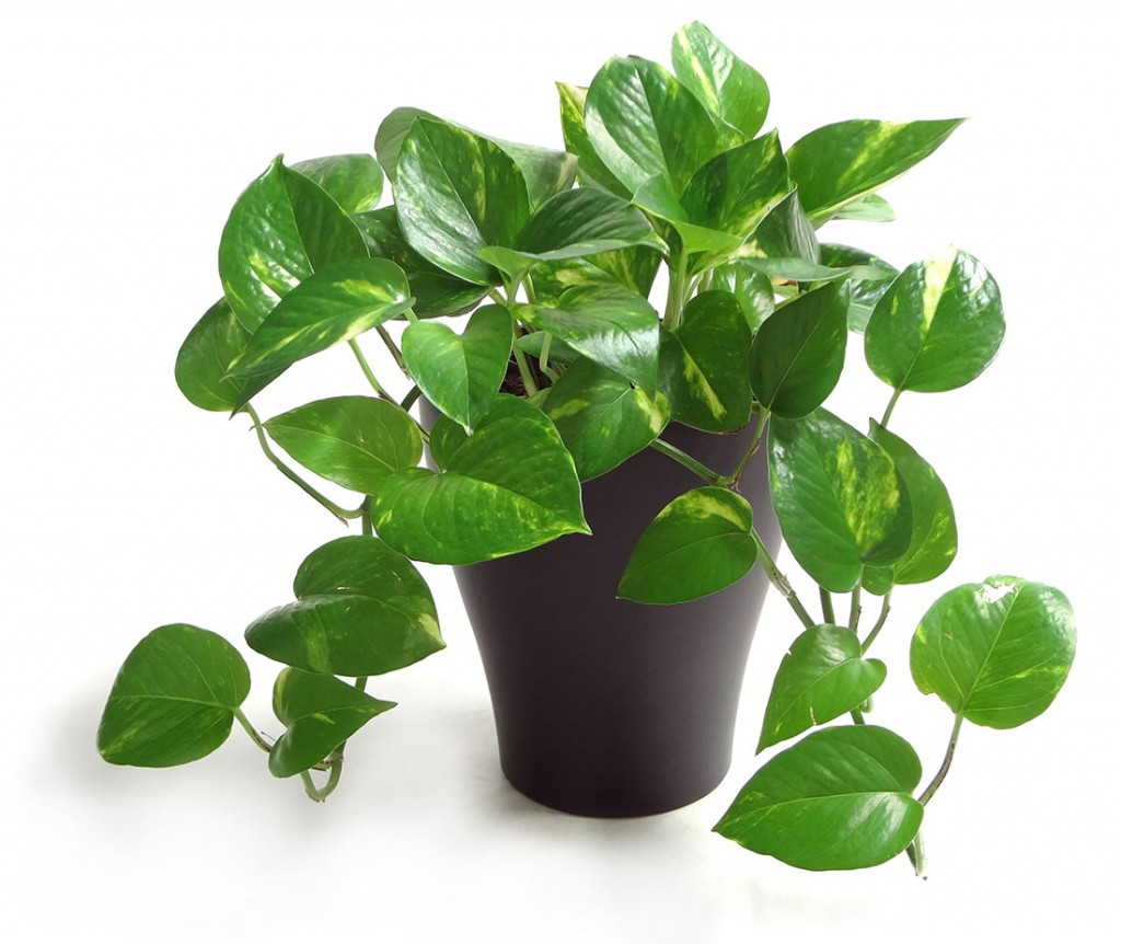 Purifica tu hogar de forma natural con sólo una planta