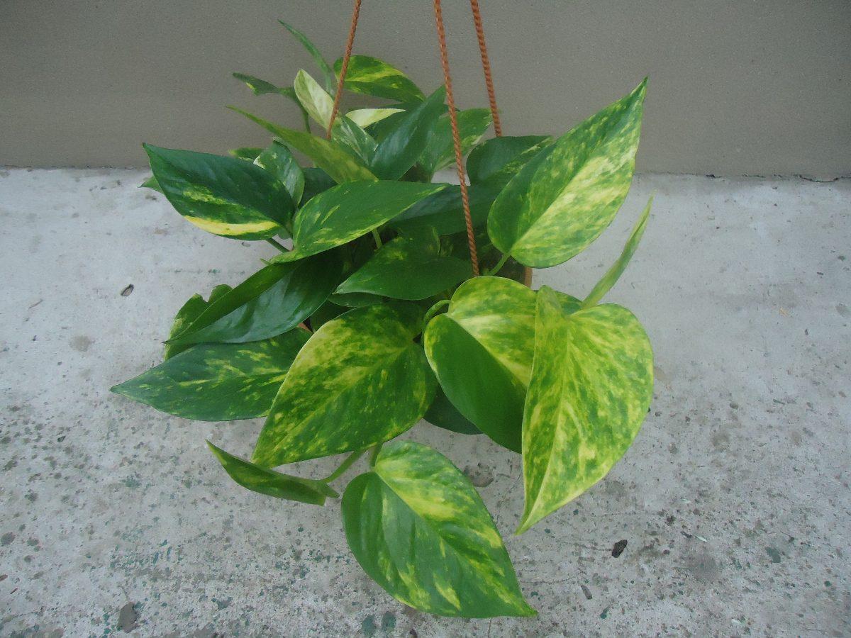 Esta planta fue recomendada por la nasa como purificador - Plantas colgantes interior ...